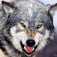 qq动物狼头像大全图片