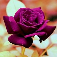色彩迥异玫瑰花_qq头像大全-qq头像乐园